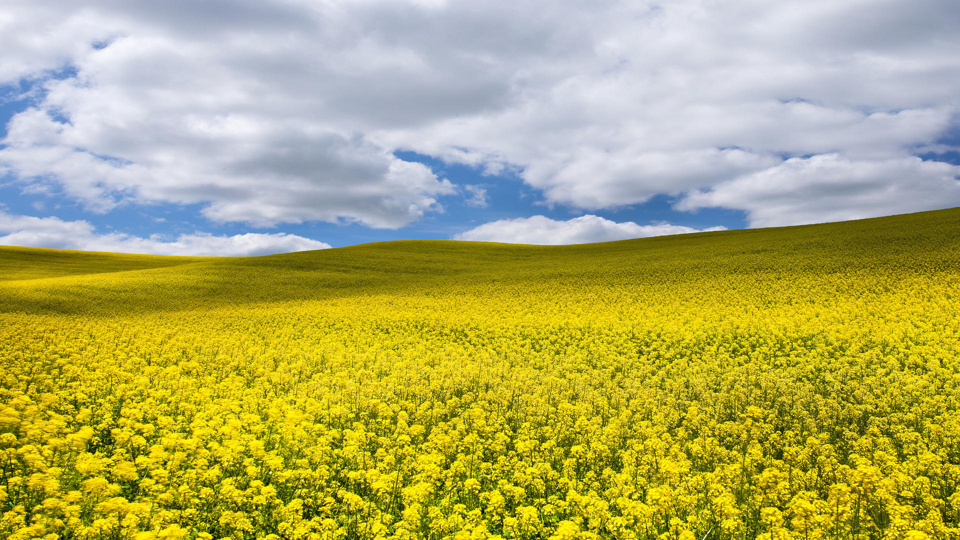 7004393-canola-fields